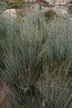 گیاه ارمک میانه (Ephedra intermedia)